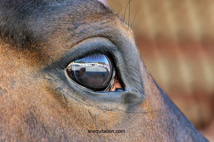 La vision d'un cheval d'un point de vue anatomique