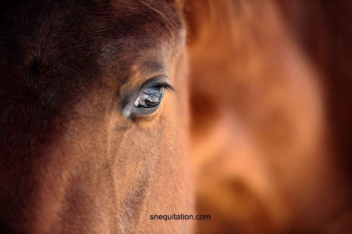 Pourquoi s'intéresser à la vision du cheval?